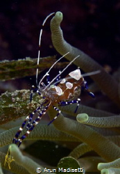 P Yucatinicus the spotted cleaner shrimp by Arun Madisetti