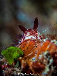 Hide and Seek  Nudibranch - Jorunna funebris  Bali, I... by Stefan Follows