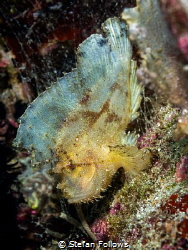 Same same ...  Leaf Scorpionfish - Taenianotus triacant... by Stefan Follows
