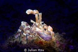 Harlequin Shrimp (Hymenocera picta) by Julian Hsu