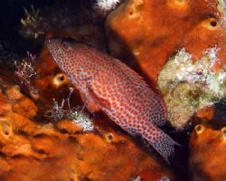 Coney Grouper, Canon digital rebel, Ikelite 125 strobe. by Michael Canzoniero