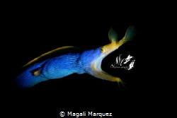 Ribbon Eel(Rhinomuraena quaesita) with Retra snoot  Niko... by Magali Marquez