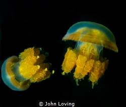 Jellyfish lake  Palau by John Loving