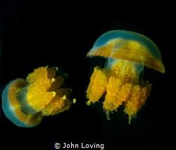 Jellyfish lake  Palau by John Loving