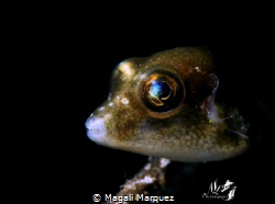 Sharpnose pufferfish with Retra snoot 