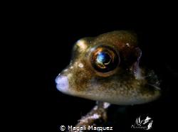 Sharpnose pufferfish with Retra snoot  Nikon D7200  Agu... by Magali Marquez