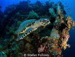 Turtle, Hawksbill - Eretmochelys imbricata_025_Bali_OMD E... by Stefan Follows