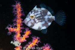 Juvenile filefish by Julian Hsu