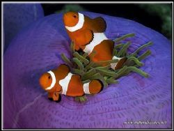 The last of the lucky clown fish series!!! by Yves Antoniazzo