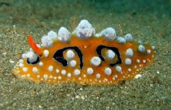 Nudibranch taken at Punta Del Sol Beach Resort, Samal Isl... by Oliver Ramos