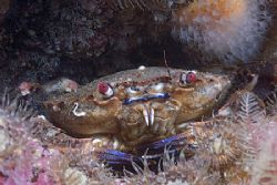Velvet swimming crab in anemone's.