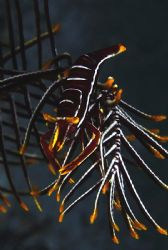 Commensal shrimp - canon 300D. Another colour I've never ... by John M Akar