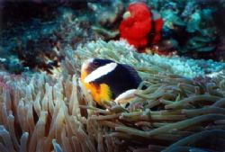 Clarkes Clown with anemone at Abrolhos Islands. by Natasha Tate