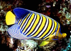 'REGAL' Regal Angelfish. Another in 'Fish Portraits from ... by Rick Tegeler