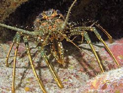 Spotted Spiny Lobster, one of the few that's been spotted... by Jim Chambers