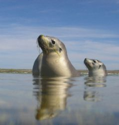 Some playful seals,Abrohlos islands.