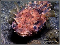 I'm a poor little puffer fish!!! C5050 Lembeh by Yves Antoniazzo