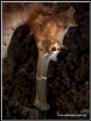 Why do Sea Horses always look down on you? by Yves Antoniazzo