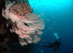 this huge aceh's gorgonian was taken 4 month after tsunam... by Iman Brotoseno