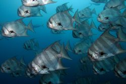 School of spadefish. Canon 350d with ikelite strobe. by Tyania Diffin