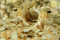 Eyes of juvenile flounder looking back, as I slowly appro... by David Heidemann