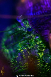 Star eye hermit under fluorescent light by Arun Madisetti