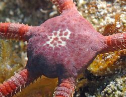 Ruby Brittle Star, central disk is about 1.5 cm. Nikon D2... by Jim Chambers