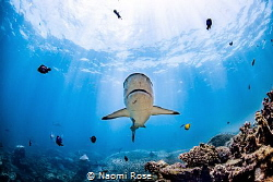 A Grey Reef Shark swims over one of the only known cleani... by Naomi Rose
