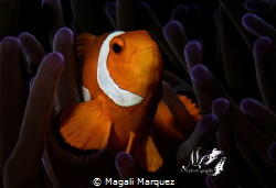 Clownfish with Retra snoot  (Amphiprioninae) Nikon D720... by Magali Marquez