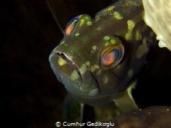 Epinephelus aeneus Juvenile White grouper by Cumhur Gedikoglu