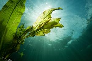 waterplant with sunshine by Pieter Firlefyn