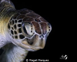 Portrait Carey (Chelonia mydas) night diving 