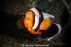 Anemone fish with shrimp by Oksana Maksymova