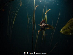 snail living in fresh water swamp :d ice cold to capture ... by Rune Rasmussen