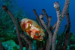 Balloonfish, trying to hide in coral. Curacao, twilight d... by David Heidemann