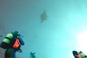 Manta You just stop and stare by Peter Harris
