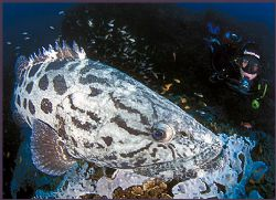 a calm and serene potato bass surveys both the camera and... by Fiona Ayerst