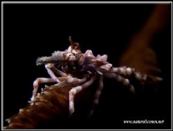 Different day, different angle but same crab. C5050 by Yves Antoniazzo