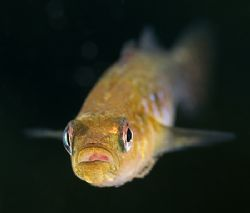 Two spot goby.Another shot From North Wales. Treaddur Ba... by Derek Haslam