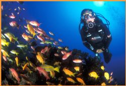 diver with brightly coloured goldies and other fish among... by Fiona Ayerst