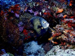 This French Angelfish kept a watchful eye as we approache... by Steven Anderson