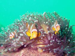 Clowfish in their anenomies. by Alex Dorward