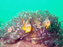 Clowfish in their anenomies. by Alex Dorward