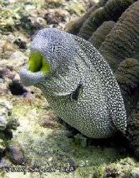 A Starry Moray, also known as a Yellow Mouth Moray (Gymno... by Jonny Simpson-Lee