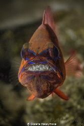 Ring-tailed cardinalfish (Ostorhinchus aureus), male prot... by Oksana Maksymova