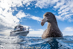 A Northern Giant Petrel curious about its reflection in m... by Naomi Rose