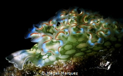 Lettuce sea slug (Elysia crispata)