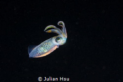 Juvenile squid by Julian Hsu