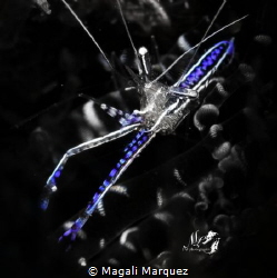 Pederson cleaner Shrimp with Retra snoot  (Ancylomenes p... by Magali Marquez