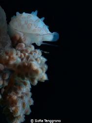 Base-Jumping Cowrie (Diminovula margarita) by Sofia Tenggrono